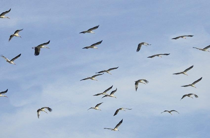 La migración de las aves por el Estrecho de Gibraltar